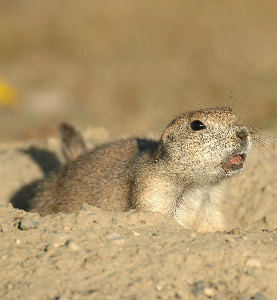 North Dakota's prairie dogs