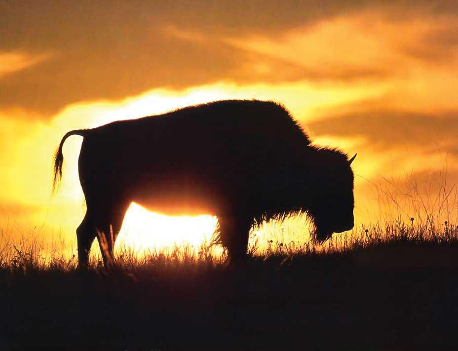 A bison on the horizon