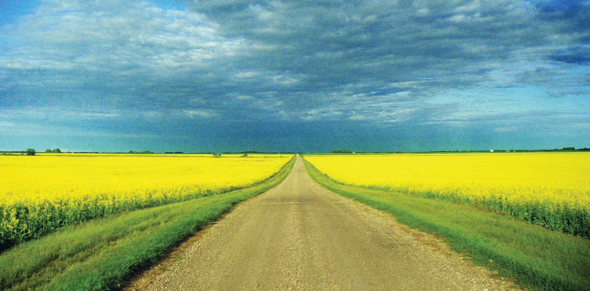 Figure 1. An endless field of canola