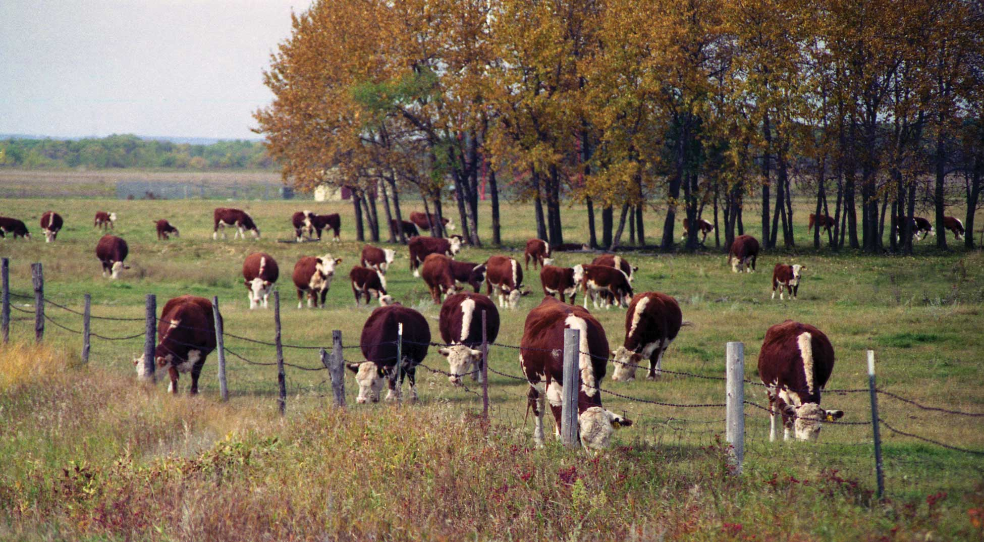Figure 109. A herd of Herefords