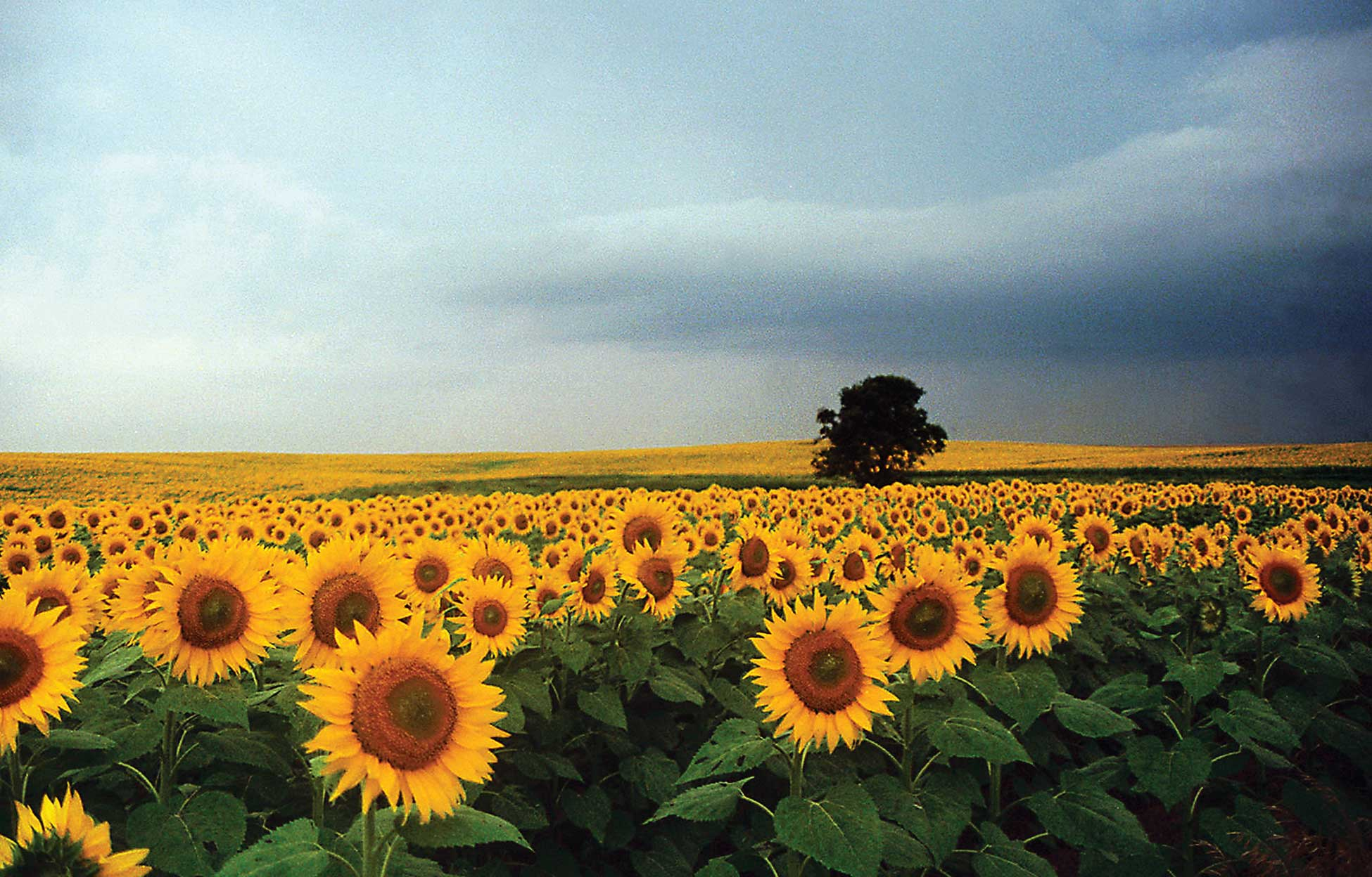 Figure 86. Sunflowers