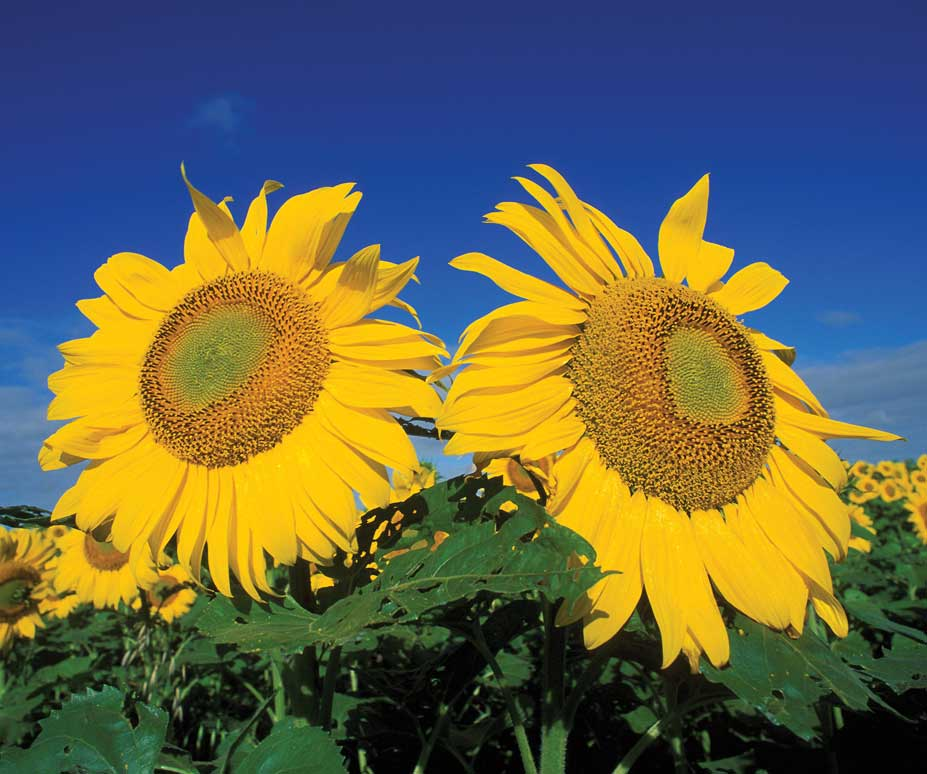 Figure 88. North Dakota produces more sunflowers