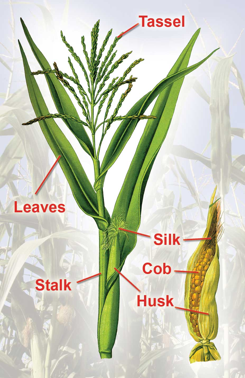 Figure 92. Parts of a Corn Plant