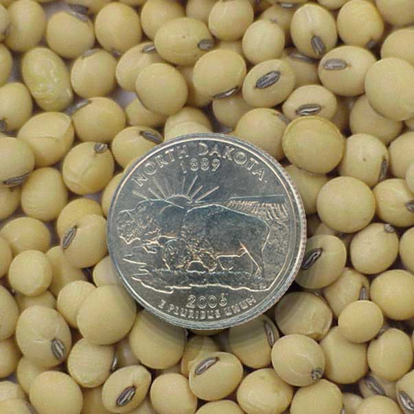 Soybean seed with ND quarter for scale