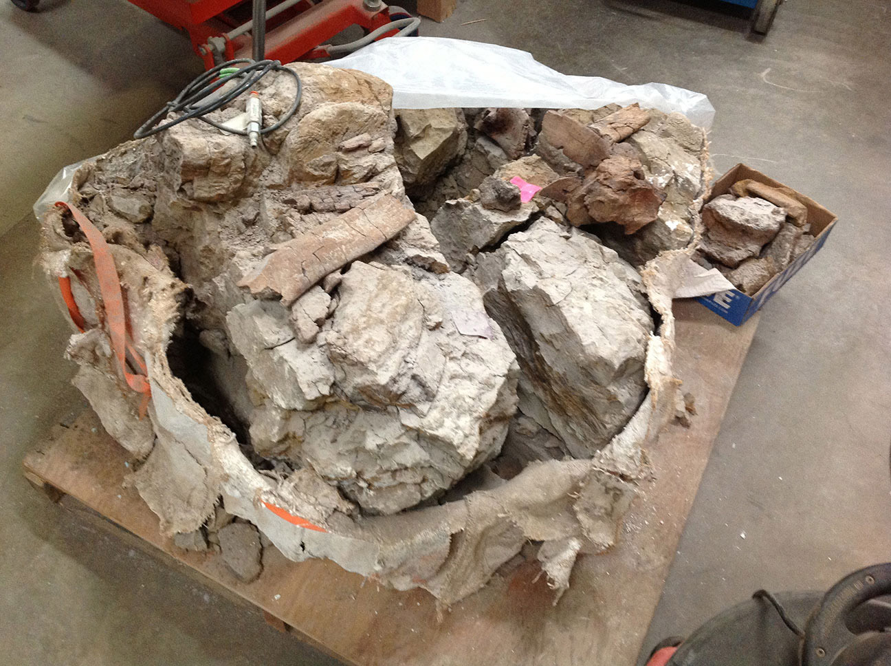 The rib cage of a Triceratops was excavated and wrapped in this jacket of cloth and Plaster of Paris. In the paleontology lab, the jacket is carefully removed. A rib is exposed along the top of the pile of bones and rock.