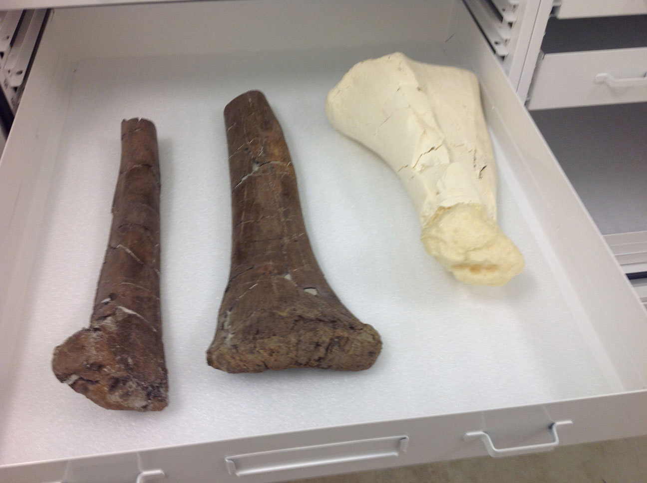 In this case, an Edmontosaurus tibia (back leg bone) that is missing the lower part will be completed by adding a carefully carved and colored foam piece.