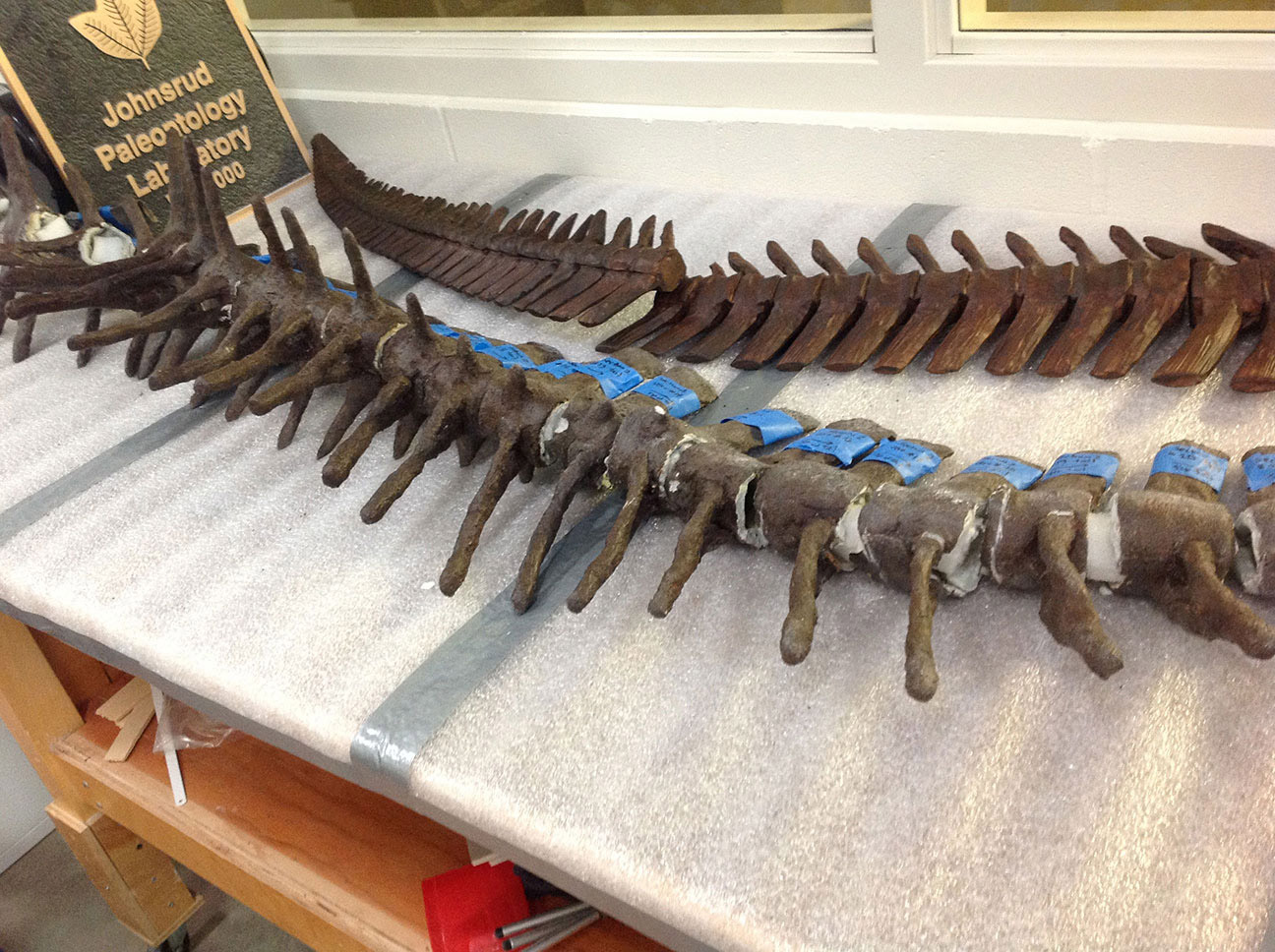 Some pieces are completely replaced for exhibit to protect the fossil from damage. This Mosasaur backbone will be completely replaced by carefully sculpted foam pieces so that the fossil can be preserved. The vertebrae to the rear of the photo are sculpted from foam. The vertebrae in the front of the photo are actual fossils.