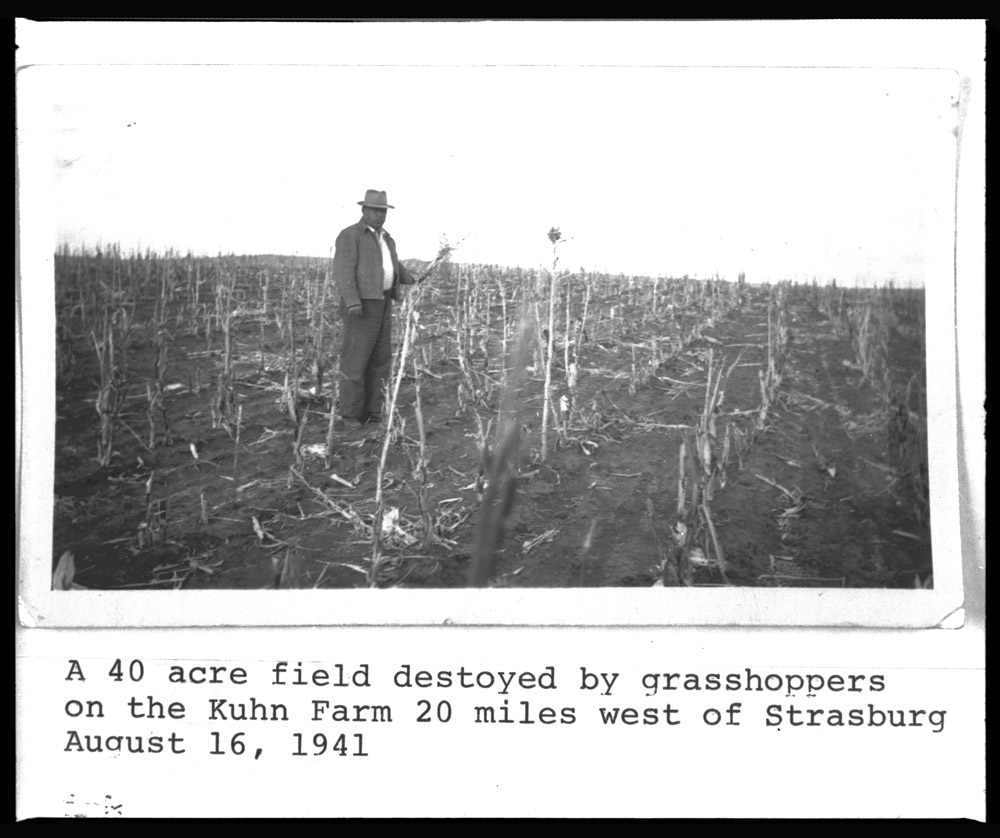 Farm field destroyed by grasshoppers