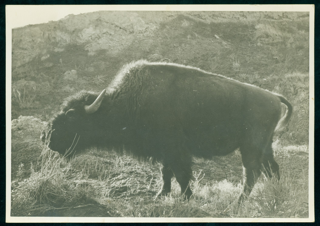 Buffalo in the wild